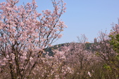 三芝 櫻花:DSC_0070_調整大小.JPG