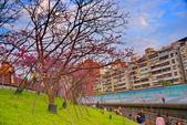 內湖 櫻花 2020:DSC_0792_調整大小.JPG