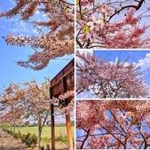 三月櫻~熱力綻放 花旗木:相簿封面