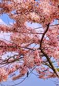 2020 與春天有約 三月 花旗木:IMG_20200327_090134_調整大小.jpg