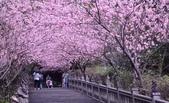 內湖碧山巖 櫻花道:DSC_0174.jpg