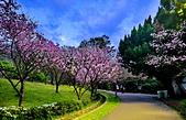 陽明山 櫻花+1:DSC_0310_調整大小.JPG