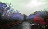 陽明山 後山公園 櫻花:DSC_0155.jpg