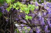 紫籐霧雨:DSC_5846_調整大小.JPG