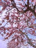 2020 與春天有約 三月 花旗木:IMG_20200327_093236_調整大小.jpg