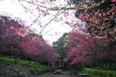 陽明山 後山公園 櫻花:DSC_0186.jpg