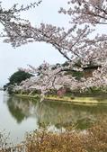 弘前公園 櫻花祭 花見:1A99B684-56B9-47C0-BD64-B322EEE17E71_調整大小.jpg