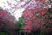 陽明山 後山公園 櫻花:DSC_0193.jpg