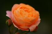 浪漫玫瑰花:DSC_0275_調整大小.JPG