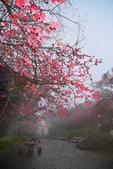 陽明山 後山公園 櫻花:DSC_0219.jpg