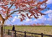 三月櫻~熱力綻放 花旗木:IMG_20200327_093045_調整大小.jpg