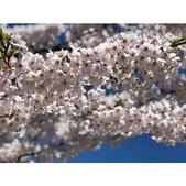 日本 平成時期的最後櫻花...2019 4月:相簿封面