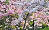 春色滿園 花旗木:DSC_0253_調整大小.JPG