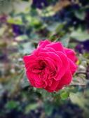 新生公園 玫瑰花:IMG_20210331_172835_調整大小.jpg