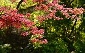 陽金公路的 紅槭:DSC_0021_調整大小.JPG