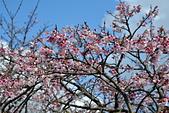 2021平菁街 第ㄧ棵滿開的櫻花:DSC_0334_調整大小.JPG