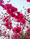 中科崴立櫻花公園 櫻花賞:IMG_20210212_160540_調整大小.jpg