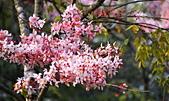 春色滿園 花旗木:DSC_0336_調整大小.JPG