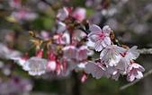 2021平菁街 第ㄧ棵滿開的櫻花:DSC_0355_調整大小.JPG