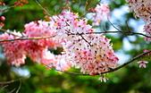 春色滿園 花旗木:DSC_0344_調整大小.JPG