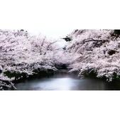 日本櫻花見:相簿封面