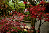 陽金公路的 紅槭:DSC_0090_調整大小.JPG