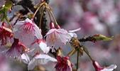 2021平菁街 第ㄧ棵滿開的櫻花:DSC_0366_調整大小.JPG