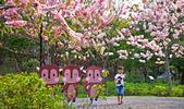 春色滿園 花旗木:DSC_0387_調整大小.JPG