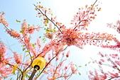 春色滿園 花旗木:DSC_0406_調整大小.JPG