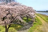 日本 平成時期的最後櫻花...2019 4月:315FD7EF-F93E-4771-850F-461C575A269F_調整大小.jpg