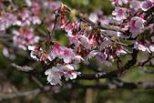 2021平菁街 第ㄧ棵滿開的櫻花:DSC_0385_調整大小.JPG