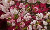 陽明山 櫻花:DSC_0046_調整大小.JPG