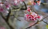 2021平菁街 第ㄧ棵滿開的櫻花:DSC_0332_調整大小.JPG