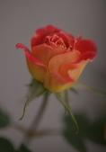 浪漫玫瑰花:DSC_0341_調整大小.JPG