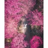 沐心泉櫻花季:相簿封面