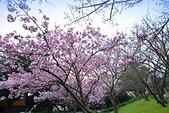 陽明山 櫻花+1:DSC_0253_調整大小.JPG