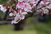 2021平菁街 第ㄧ棵滿開的櫻花:DSC_0420_調整大小.JPG