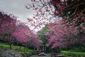 陽明山 後山公園 櫻花:DSC_0184.jpg