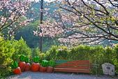 陽明山 橘餐廳 櫻花賞 4.10:DSC_0029_調整大小.JPG