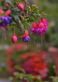 浪漫玫瑰花:DSC_0393_調整大小.JPG