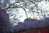 陽明山 後山公園 櫻花:DSC_0175.jpg