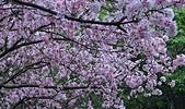 陽明山 櫻花+1:DSC_0270_調整大小.JPG