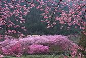 50農場櫻花 :20210302 武陵農埸_210311_57_調整大小.jpg