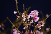 內湖 櫻花 2020:DSC_0475_調整大小.JPG