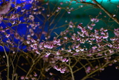 內湖 櫻花 2020:DSC_0479_調整大小.JPG