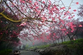 陽明山 後山公園 櫻花:DSC_0217.jpg