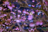 內湖 櫻花 2020:DSC_0497_調整大小.JPG