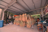 石門區 嵩山石砌梯田:將稻穀整束綁好之後,一束一束倒掛在超長的曬穀竿上,  目的是讓稻梗的養份和水分可以倒流回到稻穗,  如此越光米