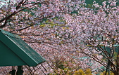 陽明山 橘餐廳 櫻花賞 4.10:DSC_0032_調整大小.JPG