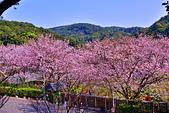 陽明山 橘餐廳 櫻花賞 4.10:DSC_0254_調整大小.JPG